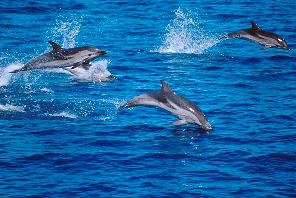 7 dauphins en fond d cran magnifique pour vous. Black Bedroom Furniture Sets. Home Design Ideas